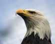 canvas print picture bald eagle profile