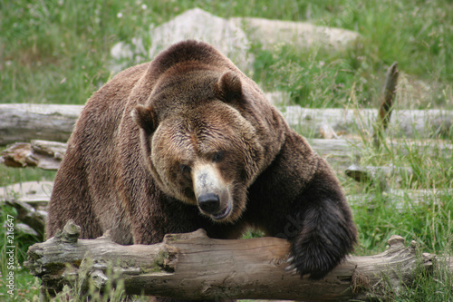 Fotomural  massive brown bear