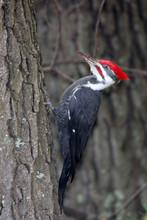 Pileated Woodpecker Clinging T...