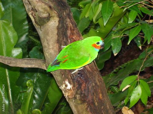 Fotografie, Obraz  fig parrot