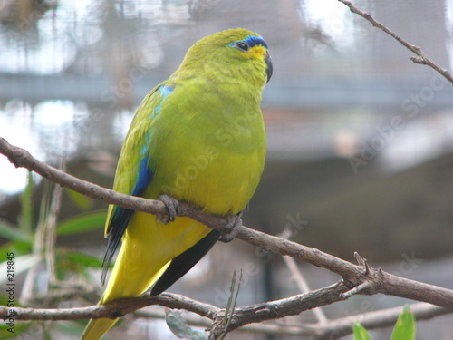 Fotografie, Obraz  golden shouldered parrot