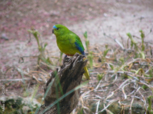 Fotografie, Obraz  orange bellied parrot