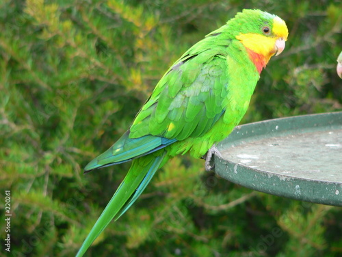 Fotografie, Obraz  superb parrot feeding