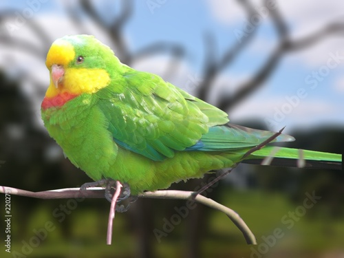 Valokuva a superb parrot