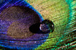 canvas print picture - water drop on peacock feather