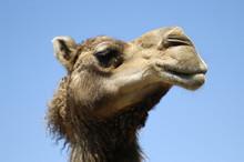 Animal - Dromedary (camelus Dr...