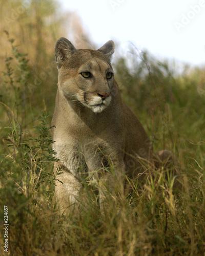 Ingelijste posters Puma animal - cougar (puma concolor stayleyanan)