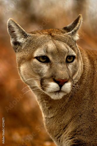 Poster Puma animal - cougar (puma concolor stayleyanan)