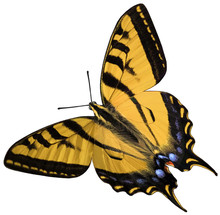 Eastern Tiger Swallowtail ~ Isolated Objects