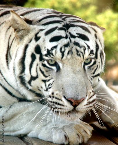 Stoff bedrucken - white tiger (von judwick)