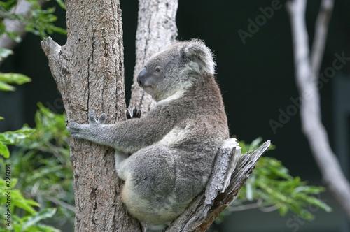 Keuken foto achterwand Koala koala in tree
