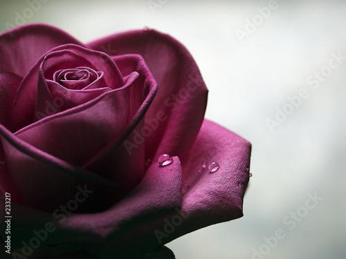 Fototapeta sad rose obraz