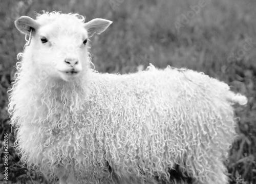 Foto op Canvas Schapen sheep