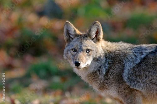 Leinwand Poster coyote
