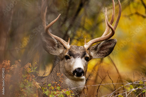 deer during fall Canvas Print
