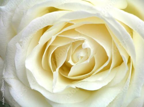Fotobehang Macro white rose