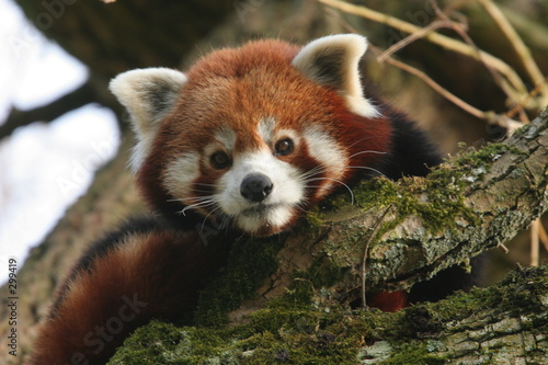 Photo petit panda roux