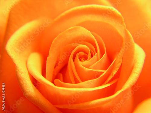 Fotobehang Macro yellow rose