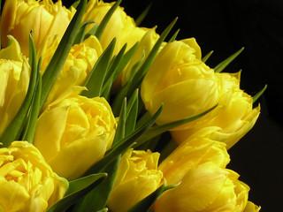 Obraz na Szkleyellow tulips