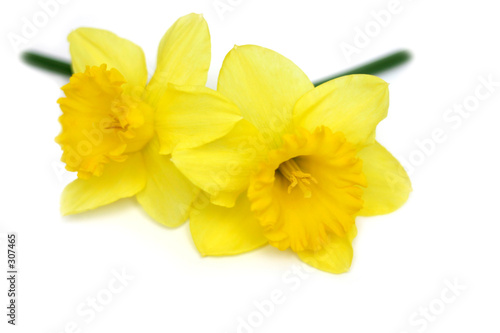 Spoed Foto op Canvas Narcis daffodil twins