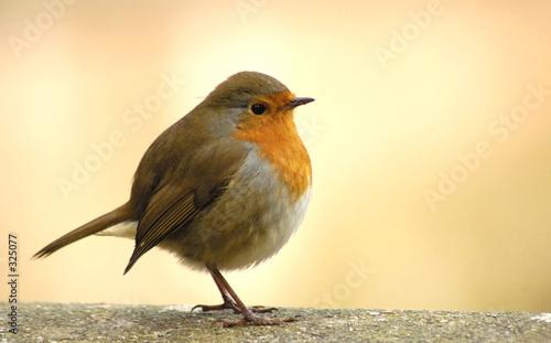 Fototapeta red robin