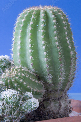 Papiers peints Cactus cactus closeup