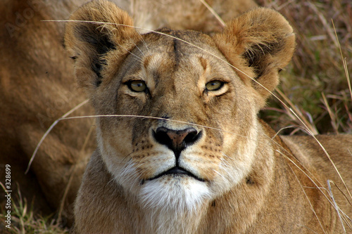 lion staring Fototapeta