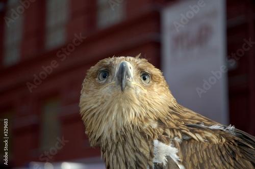 Photo  real eagle