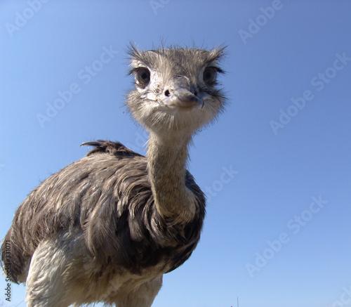 Deurstickers Struisvogel neugieriger strauß