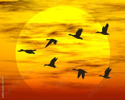 Foto-Lamellenvorhang - flying ducks (von Murat BAYSAN)