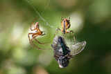 Pająki i mucha