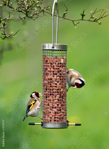 Fotografia goldfinches feeding