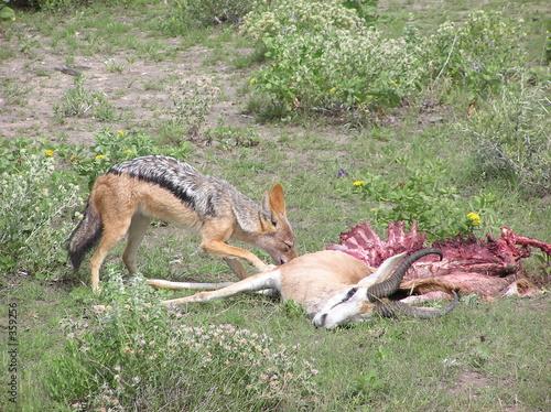 the jackal s dinner