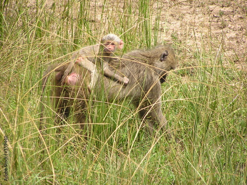 Photo  albino vervet baby monkey and mother