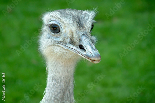 Photo Stands Ostrich curious emu