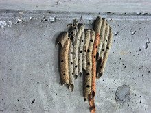 Mud Wasp Home