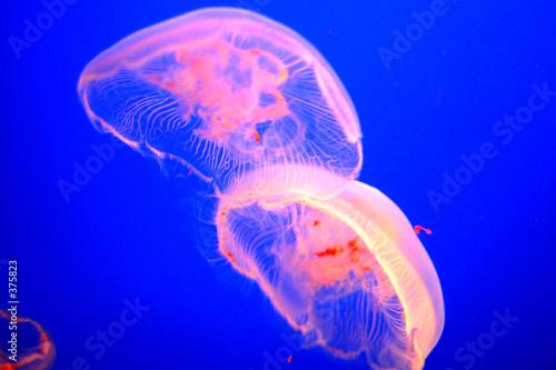 Fotografie, Tablou  jelly fish