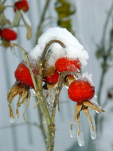 Wild Rose Berries Covered With Snow And Icicles