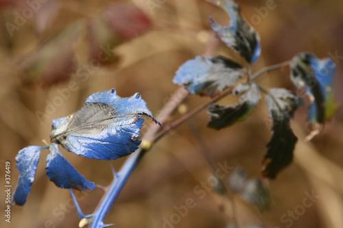 Photo  feuilles bleutées