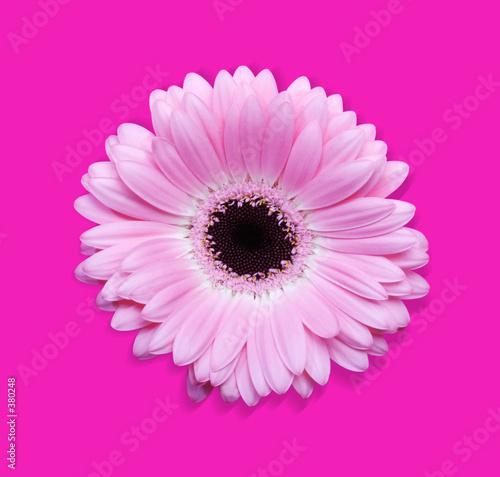 Foto op Aluminium Gerbera pink gerbera with path