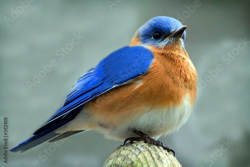Vászonkép male bluebird