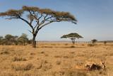 Fototapeta Sawanna - animals 039 lion