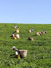 Tea Leaf Pickers