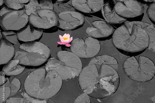 Valokuvatapetti pink water lily