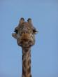 canvas print picture portrait de girafe