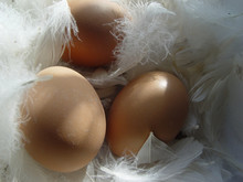 Eier Im Federbett