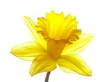 Yellow Easter Daffodil