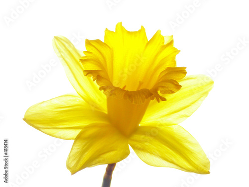 In de dag Narcis yellow easter daffodil