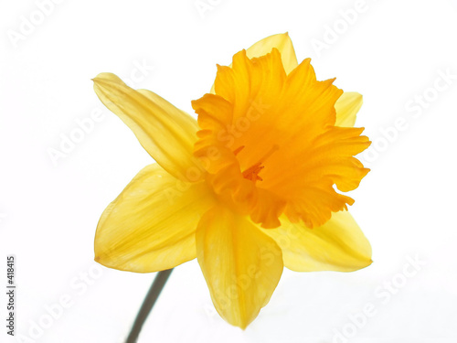 Stickers pour porte Narcisse yellow easter daffodil