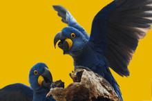 Wild Blue Hyacinth Macaw, Pant...